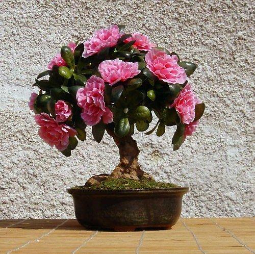 azalka růžovka