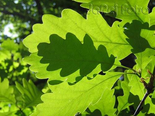 Dubové listí