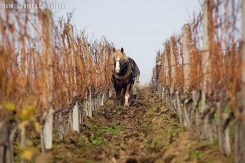 Na vinicích (FOTOPLACHTA)