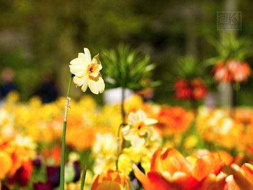 Tulip Dreams II - autorská fotografie