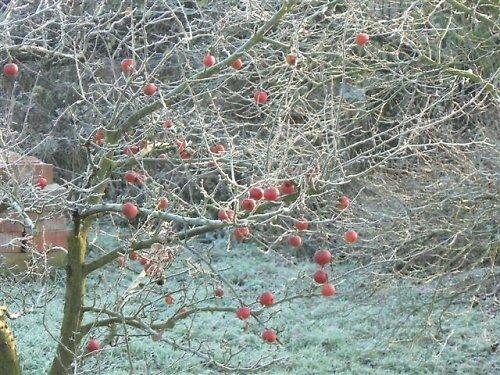 Ojíněná jabloň