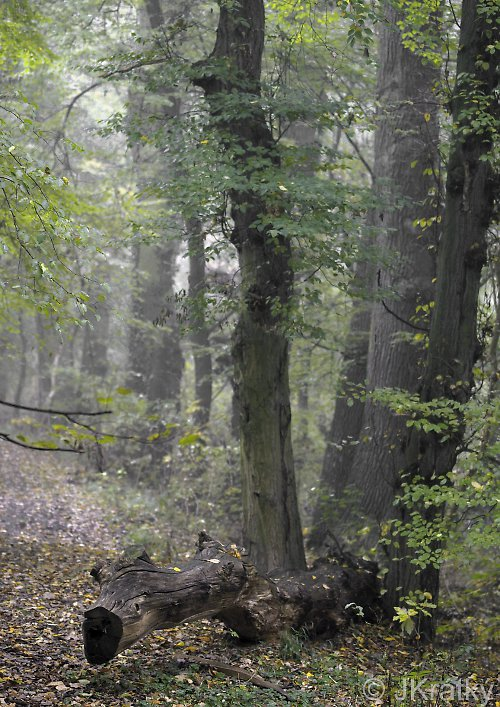 Lužní les II