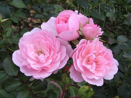 Čtyři růžové