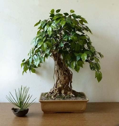 """Bonsaj \""""Ficus\"""" - nepravý ale krásný strom"""