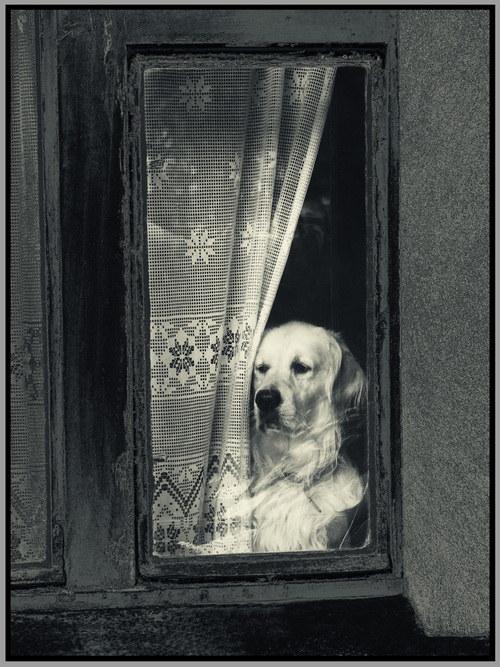 Pes za oknem