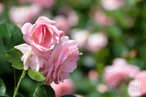 Růžová zahrada - autorská fotografie