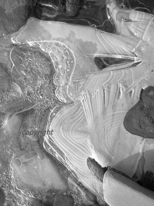 Ledový nosatec