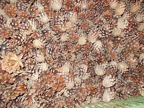 Šišky borovice