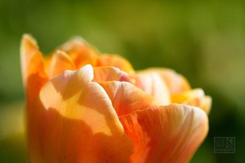 Tulip Dreams I - autorská fotografie