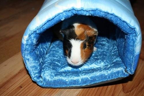 model-tunel morčátko