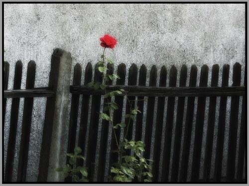 Růže u plotu