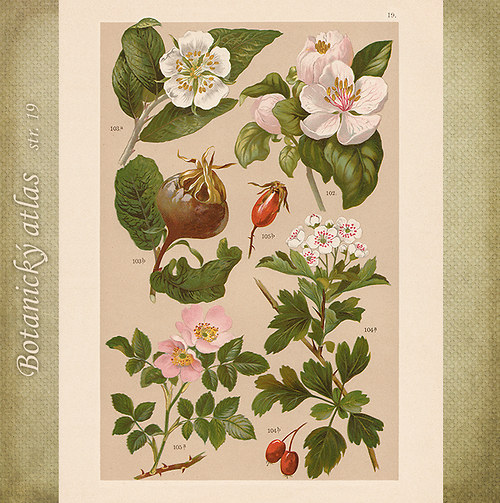 Rostliny - tab. 19 (r. 1898)