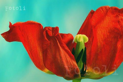 Tanec s tulipánem