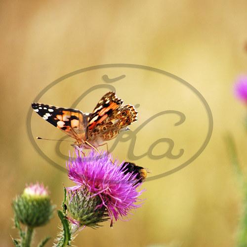 Motýlí svačinka