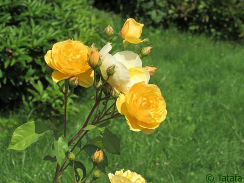 O šípkových růžích zlatavých