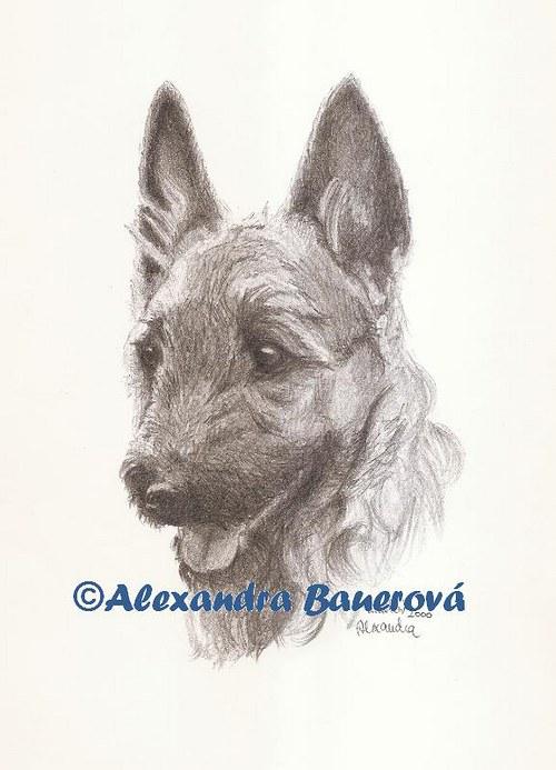 Belgický ovčák Laekenois (štěně)