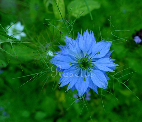 Modrá hvězda - autorská fotografie