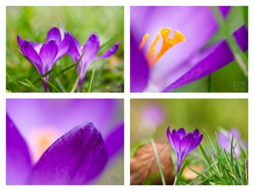Krokusy -  sada 4 autorských fotografií