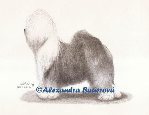 Bobtail (Staroanglický ovčák)