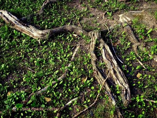 Cestou starých kořenů...