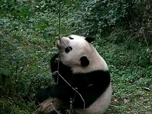 Panda Fanda