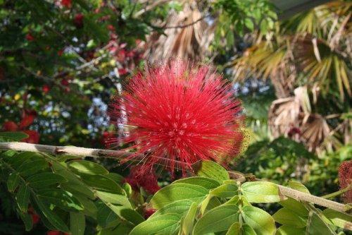 Červený ježek