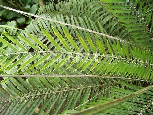 Jak se rodí palmový list