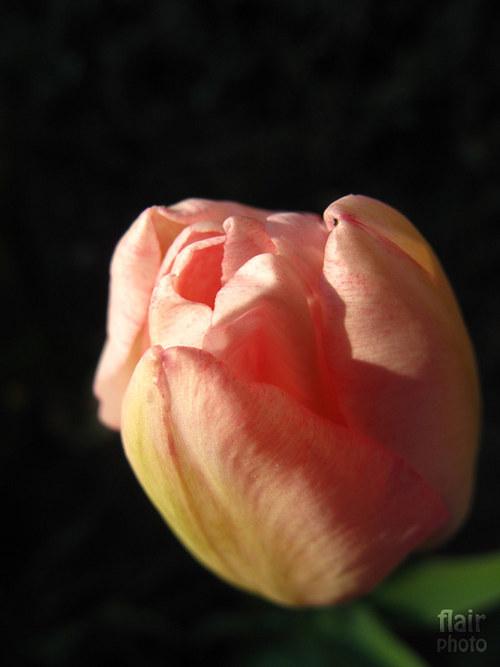 Růžový tulipán