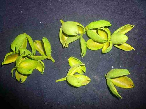 Lily zelená