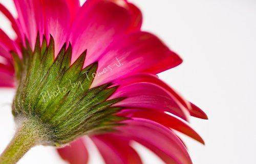 ...gerberína růžová... 30x20cm - fotografie...