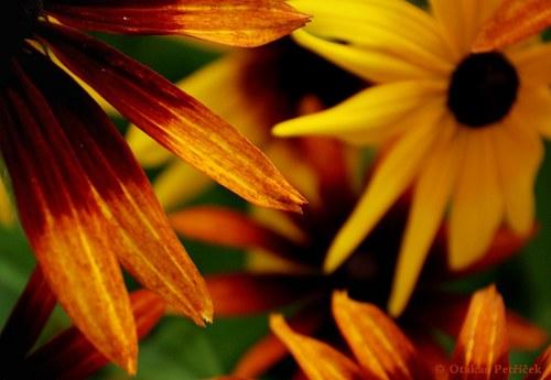 Kvetoucí rudbeckie