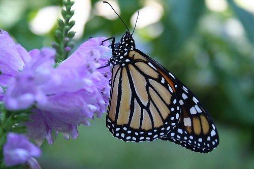 Motýlí hýčkání