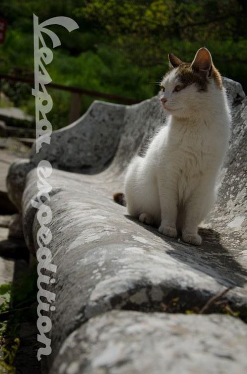 Královská mačka