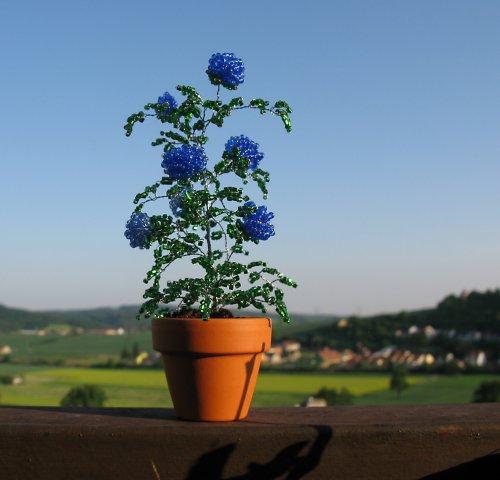 Modré korálkové růže