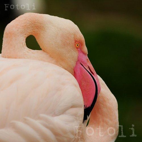 Růžový plaměňák
