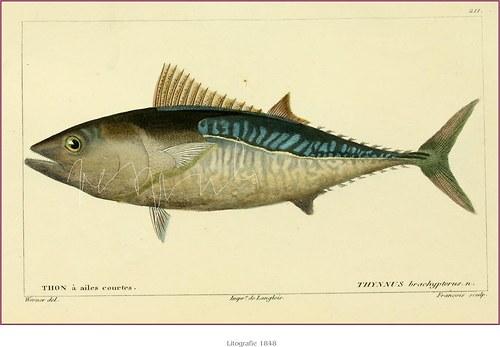ryby - tuňáci