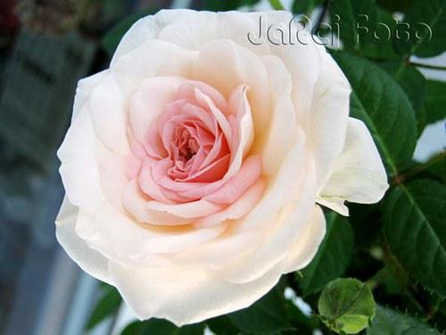 Růžička bleďoučká