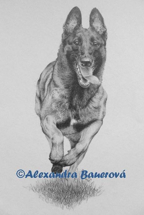 Belgický ovčák Malinois