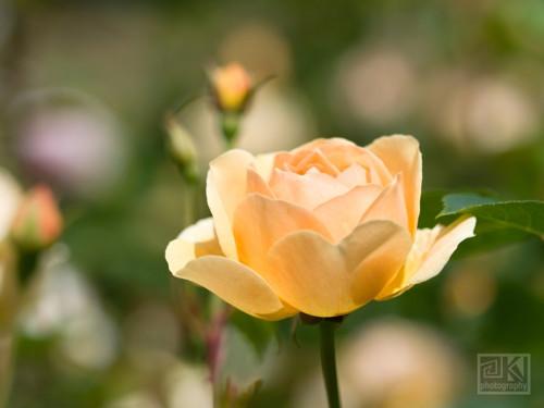 Růžová zahrada II - autorská fotografie
