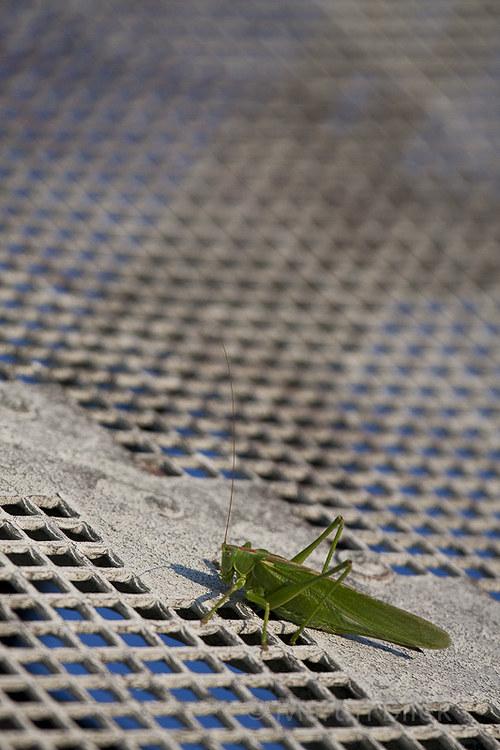 kobylka zelená