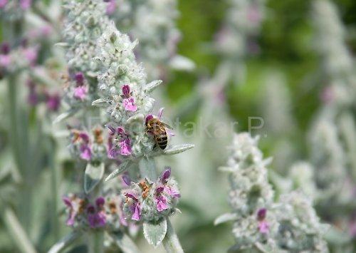 Čistec vlnatý a včela