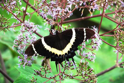 """Papilio \""""Magnificent Swallowtail\"""""""