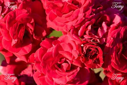 Rudé růžičky