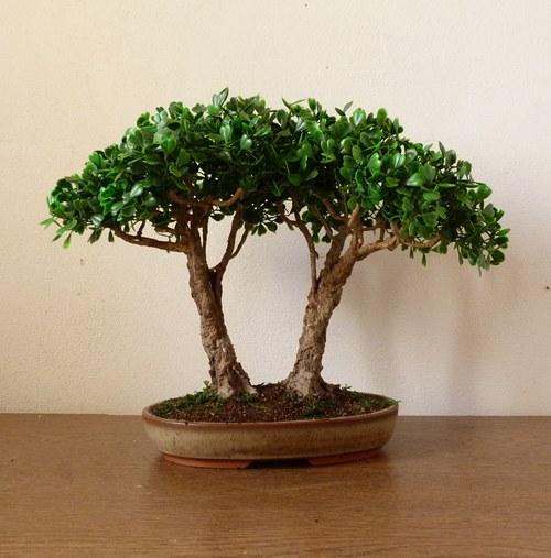 Baucis a Filemon. Dva stromky, které neuschnou