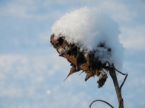 Panenka sněhová