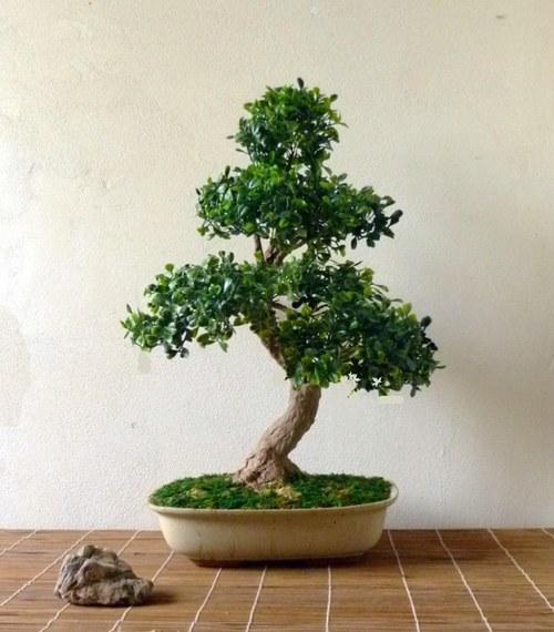 Bonsaj - nepravý ale krásný strom