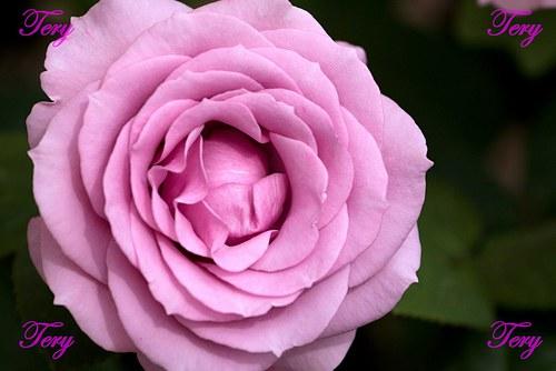 Růžová růže 3