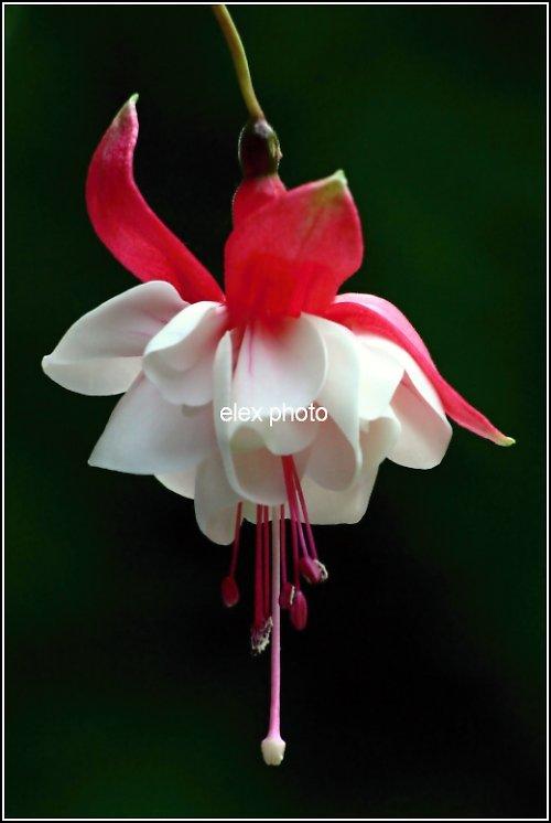 Fuchsie květ