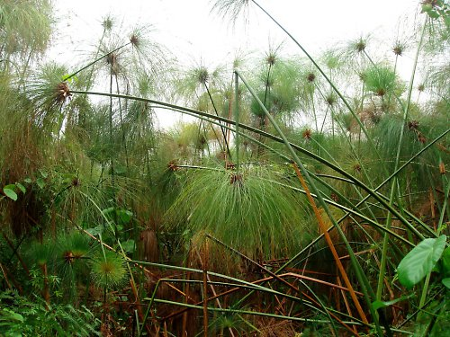 Papyrus Cyperus