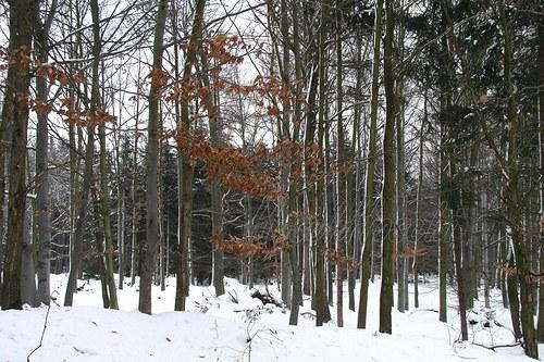 Bukový les v lednu